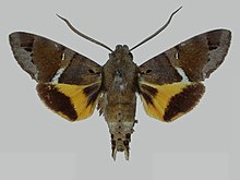Himantoides undata BMNHE273049 male up.jpg
