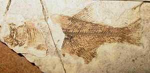Ein 48,5 Millionen Jahre altes Fossil von Hiodon woodruffi aus der Klondike-Mountain-Formation in Washington (USA).