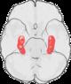 Hippocampus.png