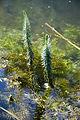 Hippuris vulgaris cahon-gouy 29082007 1.jpg