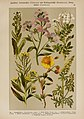 Hoffmann-Dennert botanischer Bilderatlas (Taf. 33) (6424998603).jpg
