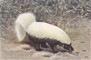 American hog-nosed skunk - Image: Hog nosed skunk