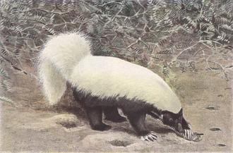 Hog-nosed skunk - An illustration of a hog-nosed skunk by Louis Agassiz Fuertes.