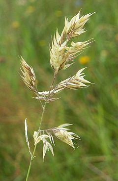 240px holcus mollis inflorescence kz