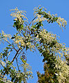 Holodiscus argenteus 6.jpg