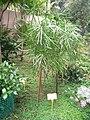 Homalocladium platycladum - Hong Kong Botanical Garden - IMG 9620.JPG