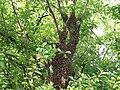 Honigbiene Apis mellifera Schwarm in Haferschlehe-OhWeh-002.jpg