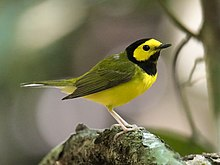 Hooded Warbler bird male