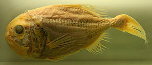 Orange roughy - A preserved specimen on display at a museum