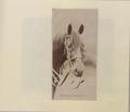 Horse's head (HS85-10-16305) original.tif