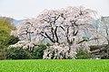 Hoshoji shidare-zakura 2008 02.jpg