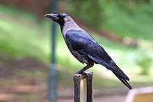 House crow Bangalore India wb.jpg