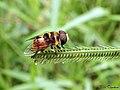 Hoverfly - Syrphidae (19167012854).jpg