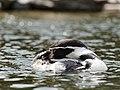 Humboldt Pinguin (36369658585).jpg
