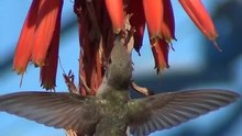File:Hummingbird.ogv