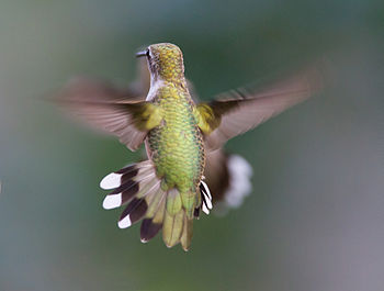 English: Hummingbird aerodynamics of flight