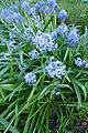 Hyacinthoides italica in Jardin des Plantes 03.jpg