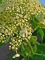 Hydrangea arborescens 003.JPG