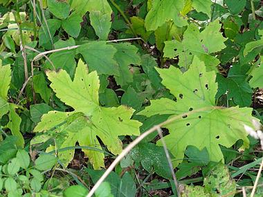 Hydrophyllum canadense SCA-04079.jpg