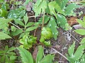 Hydrophyllum virginianum 2017-04-17 7889.jpg