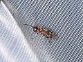 Hymenoptera sp. (42040931440).jpg