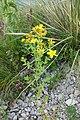 Hypericum perforatum L. familija (Hypericaceae) 05.jpg