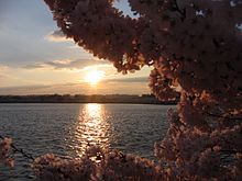 IMG 2438 - Washington DC - Tidal Basin - Cherry Blossoms.JPG