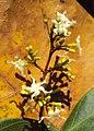 Ichnocarpus frutescens 22.JPG