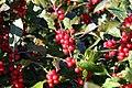 Ilex verticillata Winter Red 8zz.jpg
