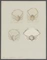 Ilia punctata - - Print - Iconographia Zoologica - Special Collections University of Amsterdam - UBAINV0274 096 07 0003.tif
