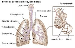 definition of bronchiole