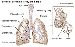 Bronchiole - Lungs showing bronchi and bronchioles