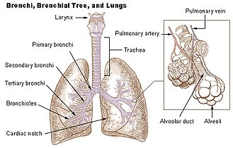 Lung - Wikipedia Lungs Diagram on costal surface of lung, lung nodules, lung drawing, mediastinal surface of lung, clara cell, lung lobes, lung infection, conducting zone, lung model, respiratory bronchiole, bronchopulmonary segment, lung structure, lung hilum, base of lung, borders of lung, apex of lung, alveolar duct, horizontal fissure of right lung, lingula of left lung, lung cartoon, lung cross section, lung function, lung health, lung segments, lung apex, lung animation, lung disease, root of the lung, oblique fissure, lung force, cardiac notch, lung bleb, terminal bronchiole, hilum of lung, lung tree birds, right lung, lung mri, lung volumes, pulmonary alveolus,
