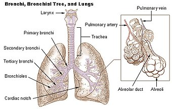 Lungs showing bronchi and bronchioles