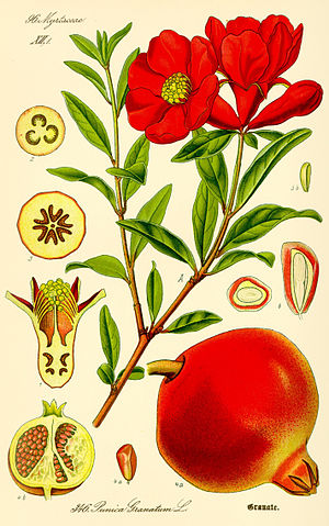 Baluster - Swelling form of the half-open flower of Punica granatum, in Italian balaustra