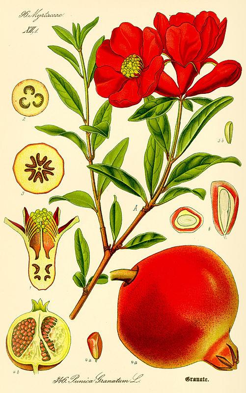 granatapfel wirkung zentrum der gesundheit