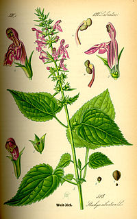 Illustration Stachys sylvatica0