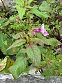 Impatiens sulcata - Gigantic Himalayan Balsam on way from Gangria to Valley of Flowers National Park - during LGFC - VOF 2019 (5).jpg
