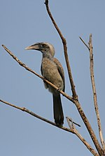 Indian Grey hornbill by David Raju (cropped).jpg