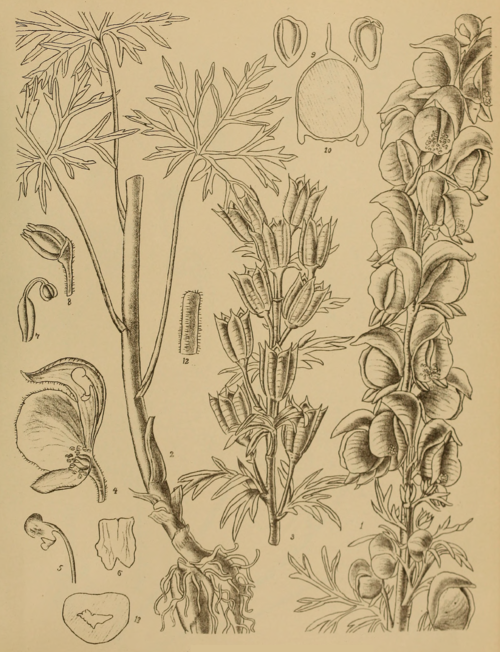 Indian Medicinal Plants - Plate 11 - Aconitum chasmanthum.png