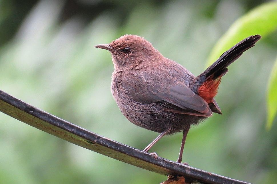 Indian Robin Saxicoloides fulicata