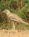 Indian Thick-knee Burhinus indicus by Dr. Raju Kasambe DSCN9380 (14).jpg