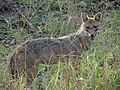 Indian jackal in the morning.jpg