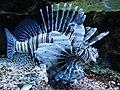 Indischer Rotfeuerfisch.jpg