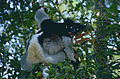 Indris (Indri indri) female with young (9644485080).jpg