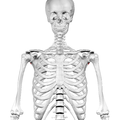 Infraglenoid tubercle of scapula01.png