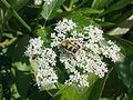 Insecte sur une fleur blanche d'apiacée à Grez-Doiceau 003.jpg
