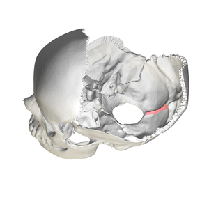 Internal occipital crest - Human skull side view (parietal bones removed). Position of internal occipital crest shown in red.