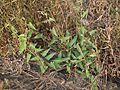 Ipomoea eriocarpa (5138372327).jpg