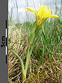 Iris humilis subsp. arenaria sl21.jpg